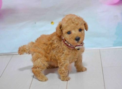 トイプードルの子犬(ID:1234911183)の1枚目の写真/更新日:2018-05-12