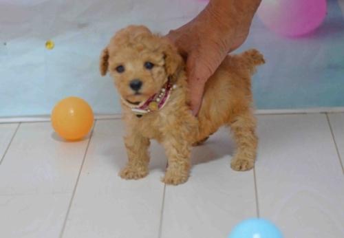 トイプードルの子犬(ID:1234911183)の2枚目の写真/更新日:2019-10-15
