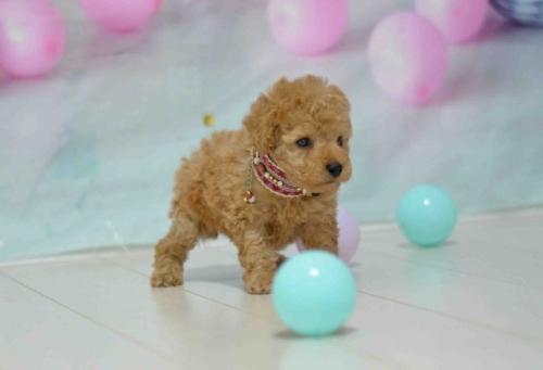 トイプードルの子犬(ID:1234911183)の3枚目の写真/更新日:2018-05-12