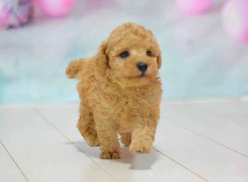 トイプードルの子犬(ID:1234911184)の1枚目の写真/更新日:2019-10-15