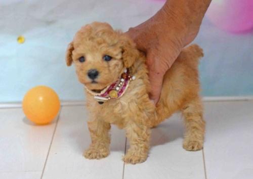 トイプードルの子犬(ID:1234911184)の2枚目の写真/更新日:2019-10-15