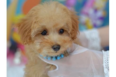 トイプードルの子犬(ID:1234911185)の2枚目の写真/更新日:2018-06-03