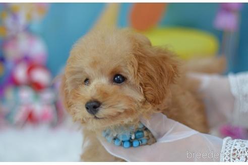トイプードルの子犬(ID:1234911185)の3枚目の写真/更新日:2018-06-03