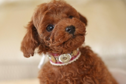 トイプードルの子犬(ID:1234911186)の3枚目の写真/更新日:2018-06-03