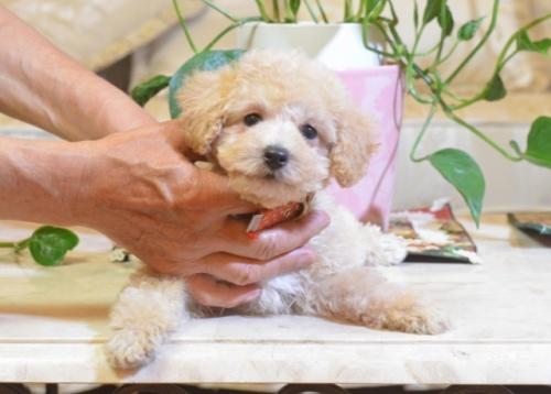 トイプードルの子犬(ID:1234911187)の1枚目の写真/更新日:2018-07-10