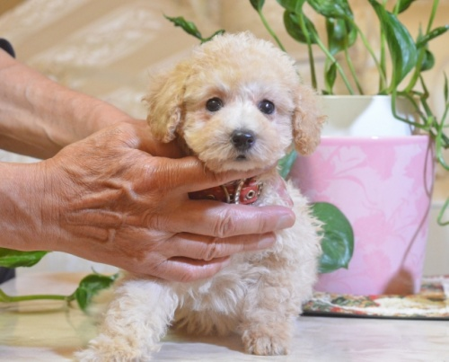 トイプードルの子犬(ID:1234911187)の2枚目の写真/更新日:2018-06-07