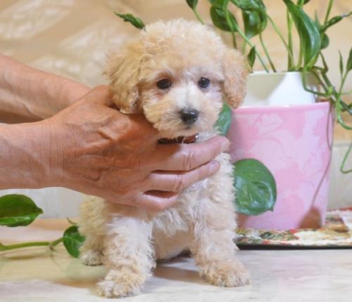 トイプードルの子犬(ID:1234911187)の3枚目の写真/更新日:2018-06-07