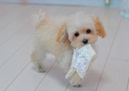 トイプードルの子犬(ID:1234911188)の1枚目の写真/更新日:2018-11-15