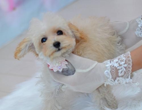 トイプードルの子犬(ID:1234911188)の2枚目の写真/更新日:2018-11-15
