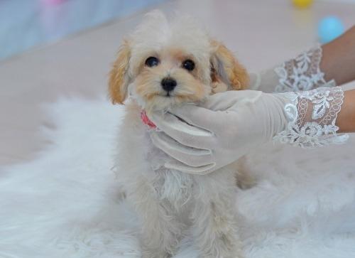 トイプードルの子犬(ID:1234911188)の3枚目の写真/更新日:2018-11-15