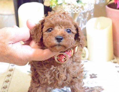 トイプードルの子犬(ID:1234911189)の1枚目の写真/更新日:2018-11-15