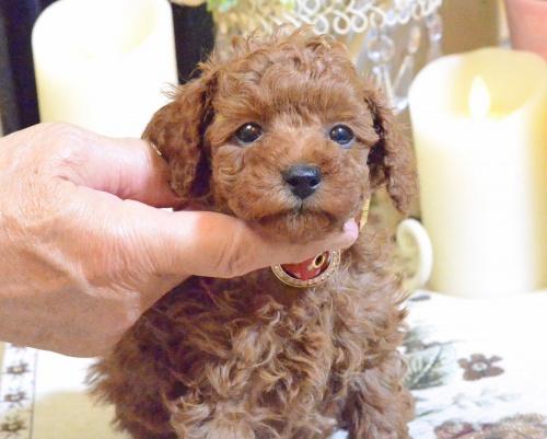 トイプードルの子犬(ID:1234911189)の2枚目の写真/更新日:2018-11-15