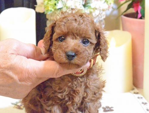 トイプードルの子犬(ID:1234911189)の3枚目の写真/更新日:2018-11-15