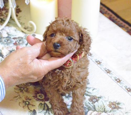 トイプードルの子犬(ID:1234911189)の4枚目の写真/更新日:2018-11-15