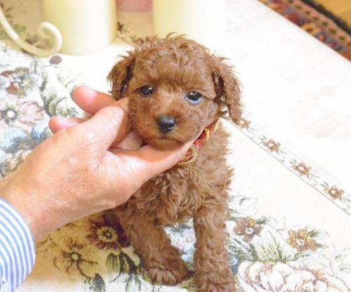 トイプードルの子犬(ID:1234911189)の6枚目の写真/更新日:2018-11-15