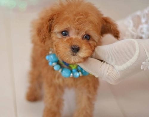 トイプードルの子犬(ID:1234911190)の1枚目の写真/更新日:2020-04-07
