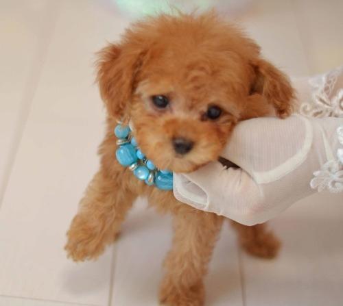 トイプードルの子犬(ID:1234911190)の2枚目の写真/更新日:2020-04-07
