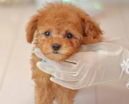 トイプードルの子犬(ID:1234911190)の3枚目の写真/更新日:2020-04-07