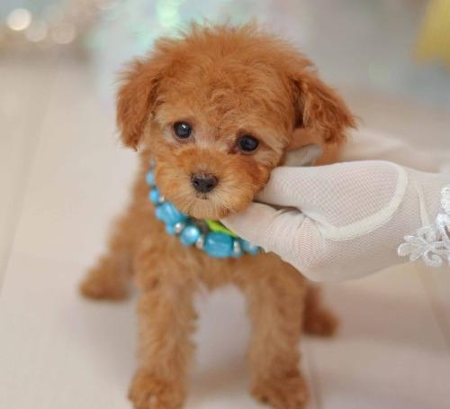 トイプードルの子犬(ID:1234911190)の4枚目の写真/更新日:2020-04-07