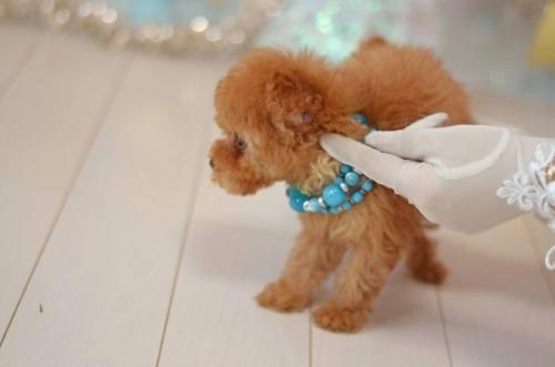 トイプードルの子犬(ID:1234911190)の5枚目の写真/更新日:2020-04-07