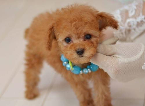 トイプードルの子犬(ID:1234911190)の6枚目の写真/更新日:2020-04-07