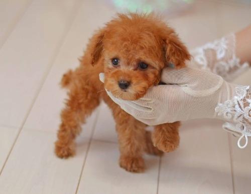 トイプードルの子犬(ID:1234911190)の8枚目の写真/更新日:2020-04-07