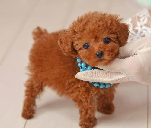 トイプードルの子犬(ID:1234911198)の1枚目の写真/更新日:2020-03-31