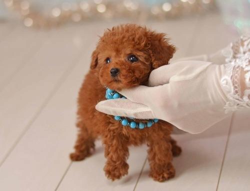 トイプードルの子犬(ID:1234911198)の3枚目の写真/更新日:2020-03-31
