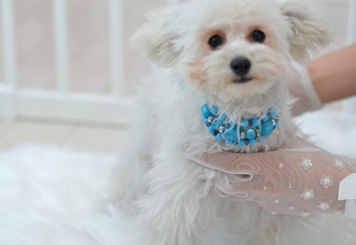 トイプードルの子犬(ID:1234911210)の2枚目の写真/更新日:2021-07-31