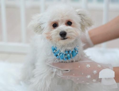 トイプードルの子犬(ID:1234911210)の3枚目の写真/更新日:2021-07-31