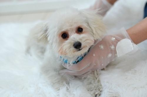 トイプードルの子犬(ID:1234911210)の4枚目の写真/更新日:2021-07-31