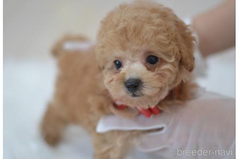 トイプードルの子犬(ID:1234911218)の1枚目の写真/更新日:2020-08-28