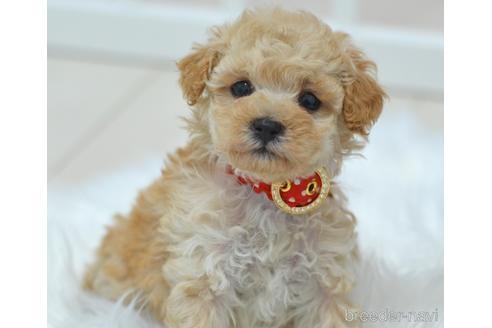 トイプードルの子犬(ID:1234911220)の2枚目の写真/更新日:2020-08-27