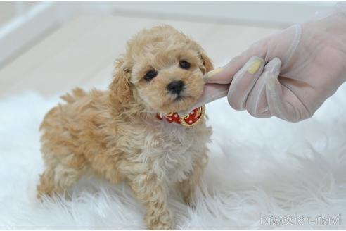 トイプードルの子犬(ID:1234911220)の3枚目の写真/更新日:2020-08-27