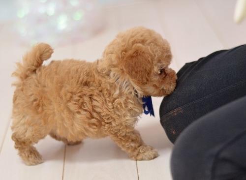 トイプードルの子犬(ID:1234911220)の7枚目の写真/更新日:2020-08-27