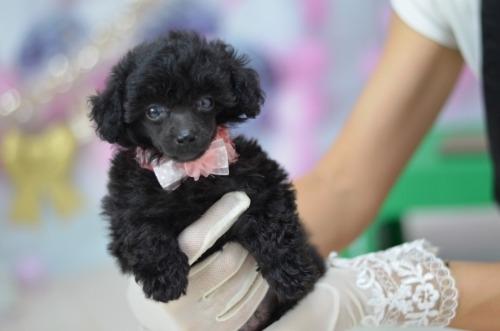 トイプードルの子犬(ID:1234911223)の2枚目の写真/更新日:2020-10-23