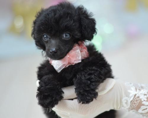 トイプードルの子犬(ID:1234911223)の3枚目の写真/更新日:2020-10-23