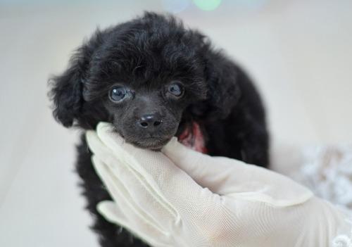トイプードルの子犬(ID:1234911223)の4枚目の写真/更新日:2020-10-23