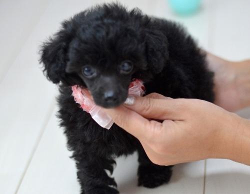 トイプードルの子犬(ID:1234911223)の6枚目の写真/更新日:2020-10-23