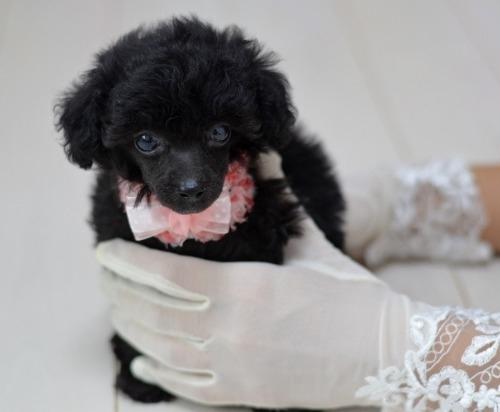 トイプードルの子犬(ID:1234911223)の7枚目の写真/更新日:2020-10-23