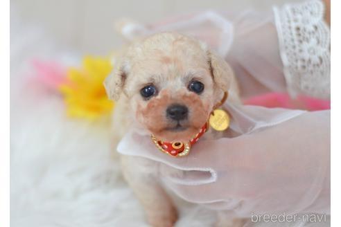トイプードルの子犬(ID:1234911224)の1枚目の写真/更新日:2021-07-31