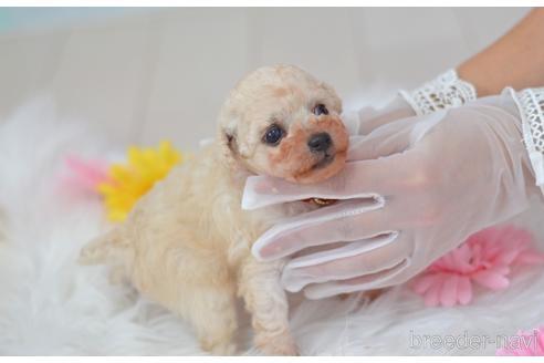 トイプードルの子犬(ID:1234911224)の2枚目の写真/更新日:2021-07-31