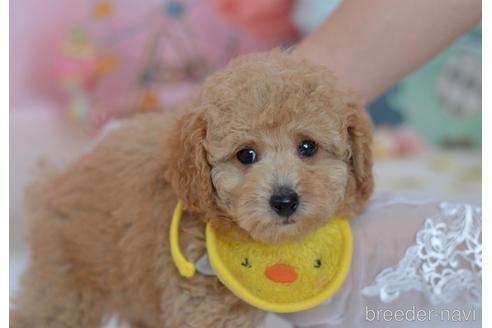 トイプードルの子犬(ID:1234911229)の1枚目の写真/更新日:2021-02-19