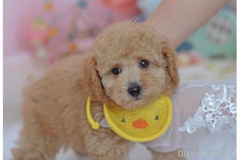 トイプードルの子犬(ID:1234911229)の4枚目の写真/更新日:2021-02-19