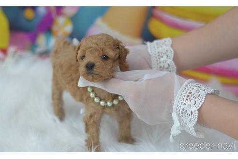 トイプードルの子犬(ID:1234911231)の1枚目の写真/更新日:2021-07-31