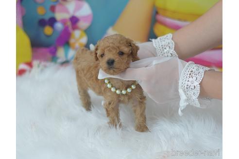 トイプードルの子犬(ID:1234911231)の2枚目の写真/更新日:2021-07-31