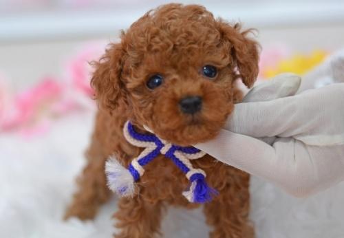 トイプードルの子犬(ID:1234911232)の1枚目の写真/更新日:2021-07-31