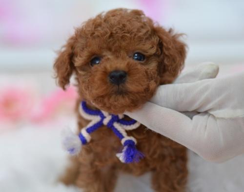 トイプードルの子犬(ID:1234911232)の2枚目の写真/更新日:2021-07-31