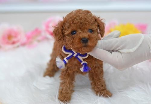 トイプードルの子犬(ID:1234911232)の3枚目の写真/更新日:2021-07-31