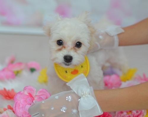 ミックスの子犬(ID:1234911234)の1枚目の写真/更新日:2021-07-08